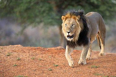 African Lion (Panthera leo) male, Tswalu Game Reserve, South Africa