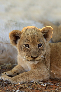 African Lion (Panthera leo) six week old cub, Tswalu Game Reserve, South Africa