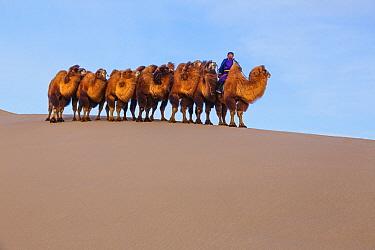 Bactrian Camel (Camelus bactrianus) herd led by herder over dunes in winter, Gobi Desert, Mongolia