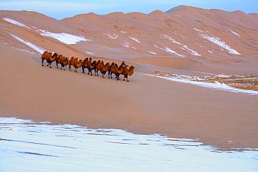 Bactrian Camel (Camelus bactrianus) herd led by herder over snow-covered dunes in winter, Gobi Desert, Mongolia