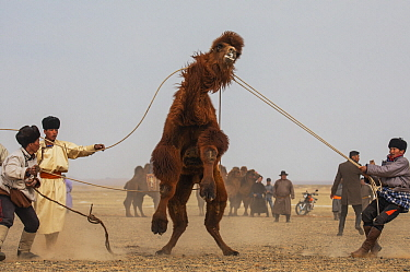Bactrian Camel (Camelus bactrianus) herders wrangling camel during fair, Gobi Desert, Mongolia