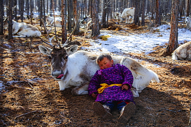 Caribou (Rangifer tarandus) slept on by Tsaatan child, Khovsgol, Mongolia