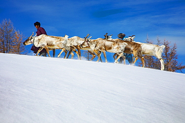 Caribou (Rangifer tarandus) herders leading herd in winter, Khovsgol, Mongolia