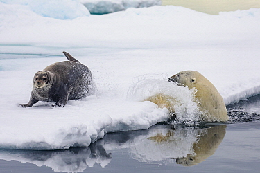 Polar Bear (Ursus maritimus) hunting Bearded Seal (Erignathus barbatus) pup, Spitsbergen, Svalbard, Norway