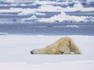 Polar Bear (Ursus maritimus) cooling off, Spitsbergen, Svalbard, Norway