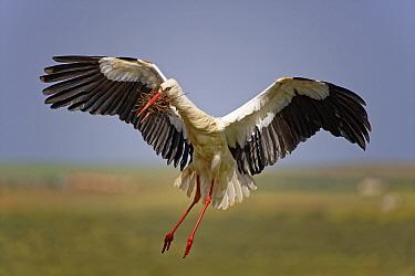 White Stork (Ciconia ciconia) landing, Extremadura, Spain