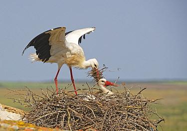 White Stork (Ciconia ciconia) pair building nest, Extremadura, Spain