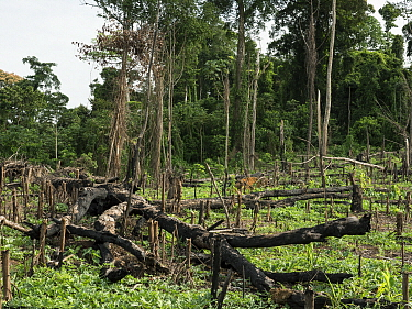 Slash-and-burn deforestation for farming, near Mefou Primate Sanctuary, Cameroon