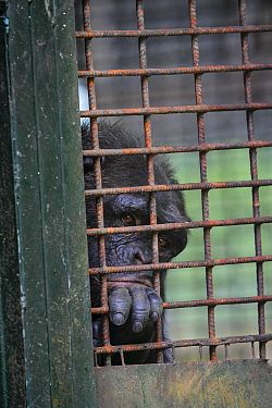 Chimpanzee (Pan troglodytes) in cage, Limbe Wildlife Centre, Cameroon