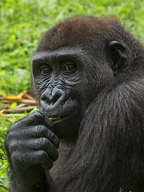 Western Lowland Gorilla (Gorilla gorilla gorilla) juvenile, Limbe Wildlife Centre, Cameroon