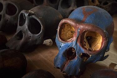 Chimpanzee (Pan troglodytes) skulls, Limbe Wildlife Centre, Cameroon
