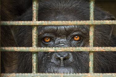 Chimpanzee (Pan troglodytes) in cage, Limbe Wildlife Centre, Cameroon