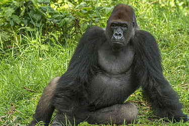 Western Lowland Gorilla (Gorilla gorilla gorilla) silverback, Limbe Wildlife Centre, Cameroon