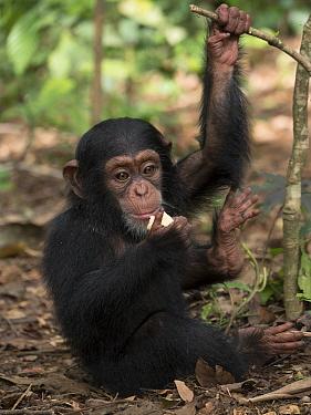 Chimpanzee (Pan troglodytes) 3 month old orphan Daphne feeding, Ape Action Africa, Mefou Primate Sanctuary, Cameroon
