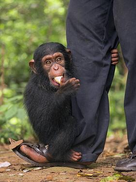 Chimpanzee (Pan troglodytes) orphan clinging to keeper while feeding, Mefou Primate Sanctuary, Cameroon