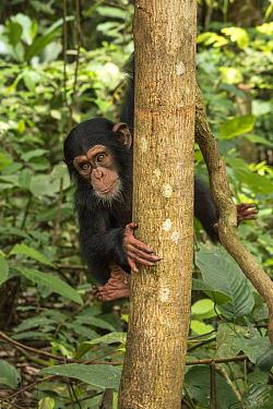 Chimpanzee (Pan troglodytes) orphan Daphne in tree, Ape Action Africa, Mefou Primate Sanctuary, Cameroon