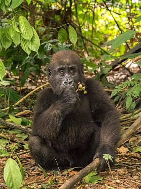 Western Lowland Gorilla (Gorilla gorilla gorilla) orphan feeding, Ape Action Africa, Mefou Primate Sanctuary, Cameroon