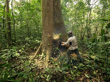 Rainforest tree being logged to clear area for oil palm plantation, western Cameroon