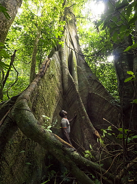 Conservationist, Abwe Egong, in giant rainforest buttress root, Ebo Wildlife Reserve, Cameroon