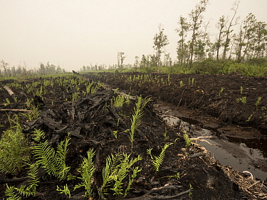Recently cleared and burnt tropical rainforest to convert area for oil palm plantation, West Kalimantan, Borneo, Indonesia