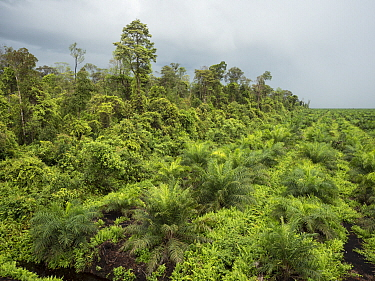 African Oil Palm (Elaeis guineensis) plantantion next to rainforest, West Kalimantan, Borneo, Indonesia