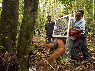Orangutan (Pongo pygmaeus) male being released after being rescued from 2015 fires, Gunung Palung National Park, West Kalimantan, Borneo, Indonesia