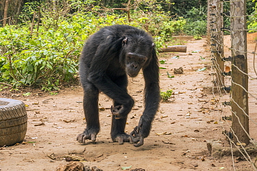 Chimpanzee (Pan troglodytes) old orphan Sammy, suffering physical ailments from encounter with poachers, Ape Action Africa, Mefou Primate Sanctuary, Cameroon