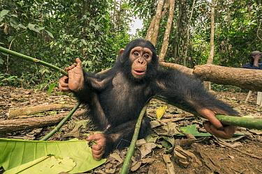 Chimpanzee (Pan troglodytes) orphan Larry, Ape Action Africa, Mefou Primate Sanctuary, Cameroon