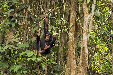 Chimpanzee (Pan troglodytes) orphan Daphne playing in trees, Ape Action Africa, Mefou Primate Sanctuary, Cameroon