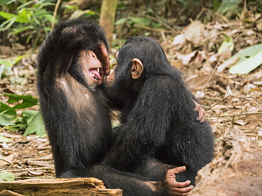 Chimpanzee (Pan troglodytes) orphans Daphne and Larry playing, Ape Action AFrica, Mefou Primate Sanctuary, Cameroon
