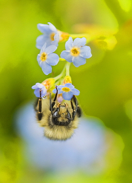 Bumblebee (Bombus sp) on flower, Juneau, Alaska