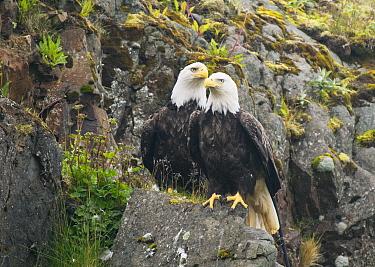 Bald Eagle (Haliaeetus leucocephalus) pair, Adak Island, Aleutian Islands, Alaska