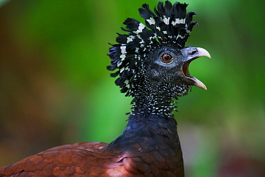 Great Curassow (Crax rubra) female calling, Golfito, Costa Rica