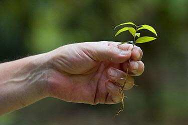 Botanist, Dr. Anton Weissenhofer, holding seedling, Golfito, Costa Rica
