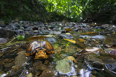 White-lipped Mud Turtle (Kinosternon leucostomum) in creek, Golfito, Costa Rica