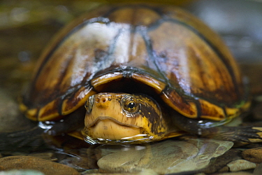 White-lipped Mud Turtle (Kinosternon leucostomum), Golfito, Costa Rica