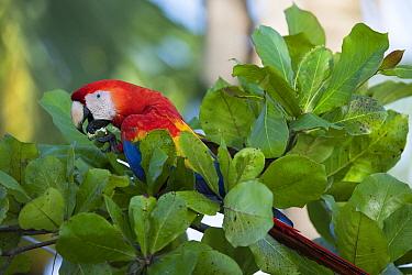 Scarlet Macaw (Ara macao) feeding, Osa Peninsula, Costa Rica