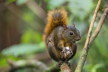 Red-tailed Squirrel (Sciurus granatensis) feeding on nut, Osa Peninsula, Costa Rica