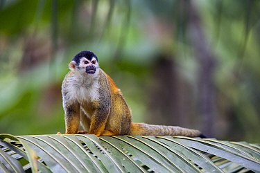 Black-crowned Central American Squirrel Monkey (Saimiri oerstedii), Golfito, Costa Rica