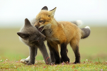 Red Fox (Vulpes vulpes) kits playing, Washington