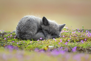 Red Fox (Vulpes vulpes) kit sleeping, Washington