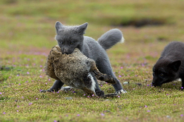 Red Fox (Vulpes vulpes) kits with rabbit prey, Washington