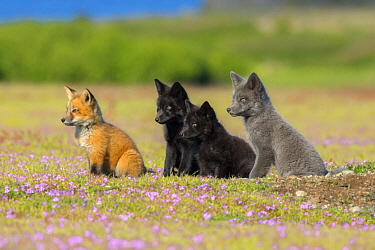 Red Fox (Vulpes vulpes) kits, Washington