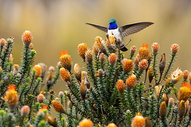 Blue-throated Hillstar (Oreotrochilus cyanolaemus) hummingbird, new species, landing, Andes, Ecuador