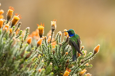 Blue-throated Hillstar (Oreotrochilus cyanolaemus) hummingbird, new species, Andes, Ecuador