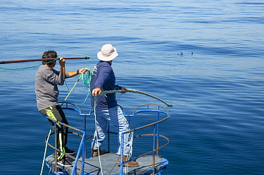 Swordfish (Xiphias gladius) biologist, Chugey Sepulveda, and fisherman preparing to tag animal, Taltal, Chile