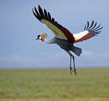 Grey Crowned Crane (Balearica regulorum) flying, Serengeti National Park, Tanzania