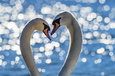 Mute Swan (Cygnus olor) pair courting, Upper Bavaria, Germany