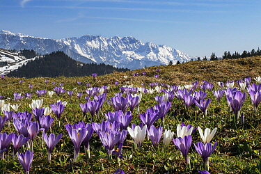 Dutch Crocus (Crocus vernus) flowers and mountains, Upper Bavaria, Germany