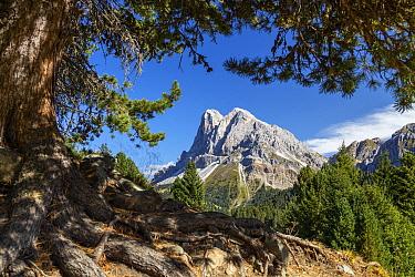 Italian Stone Pine (Pinus pinea) tree and mountains, Peitlerkofel, Dolomites, South Tyrol, Italy